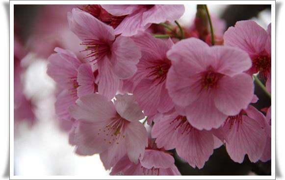 亀桜4040610