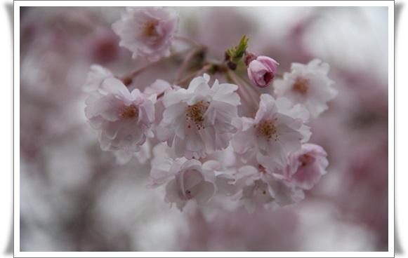亀桜404069
