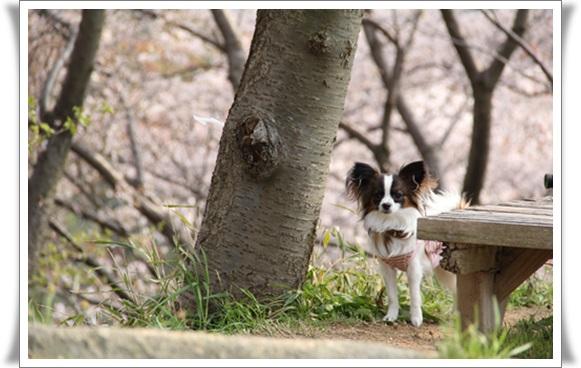 亀桜404063