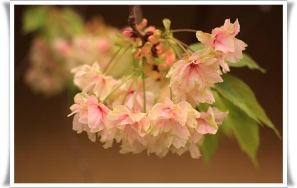 黄桜4041613