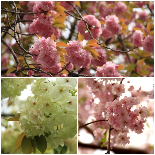 黄桜404168