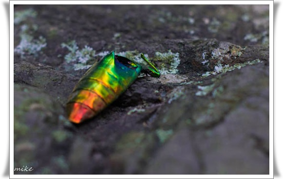 玉虫 (1 - 1)
