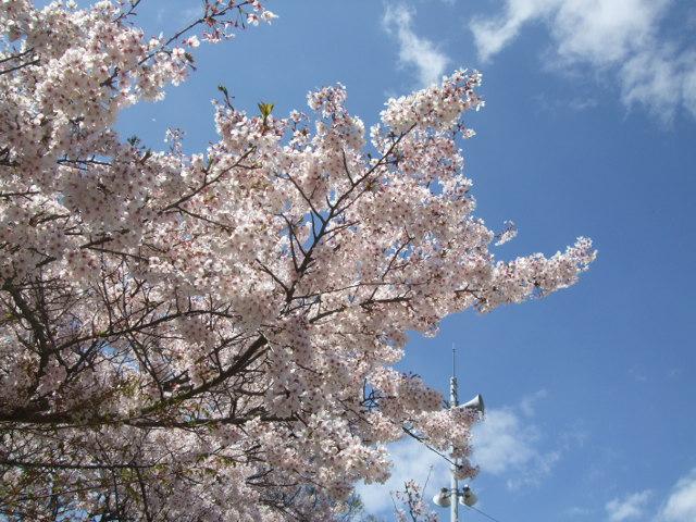 音戸の瀬戸公園 駐車場からの桜