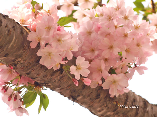 八乙女桜2