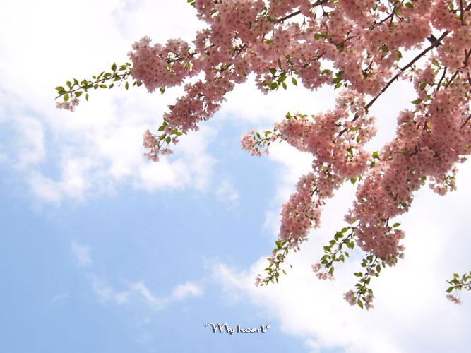八乙女桜4