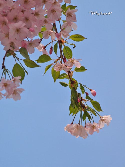八乙女桜5