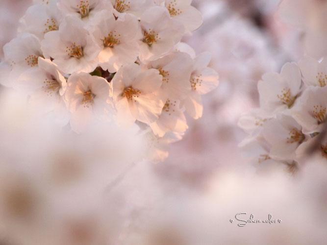 sakura2_201405012034221b4.jpg