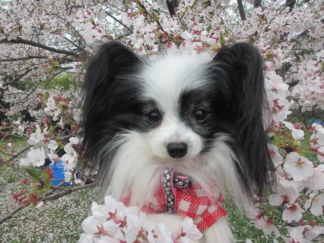 桜リフト2