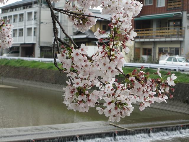 2014 桜