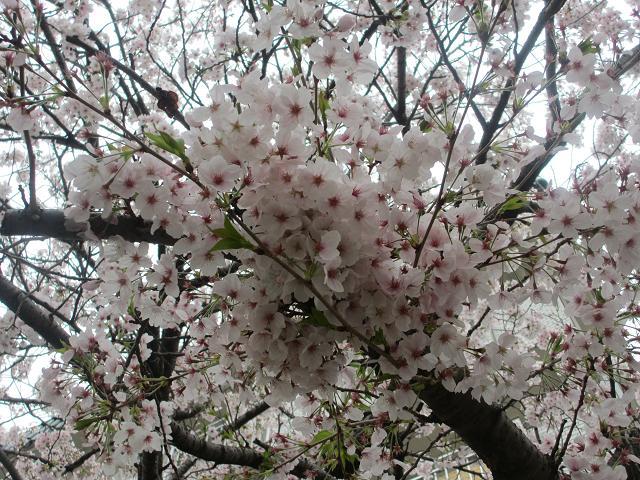 2014 桜2