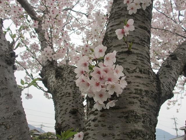 2014 桜7