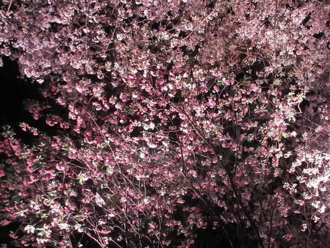2014 夜桜3