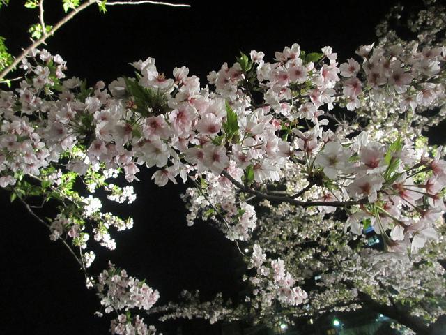 2014夜桜2