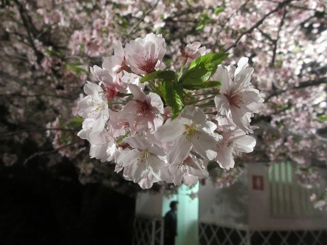 2014 夜桜7