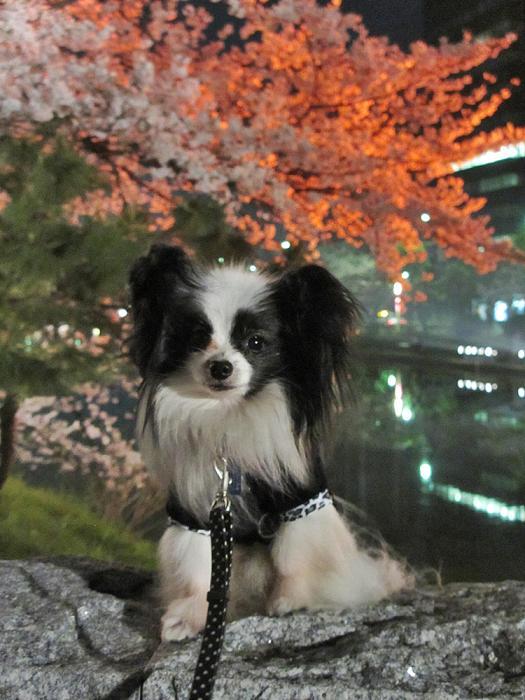 夜桜② 155