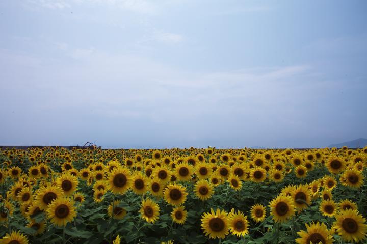 2014「花の海」ひまわり06