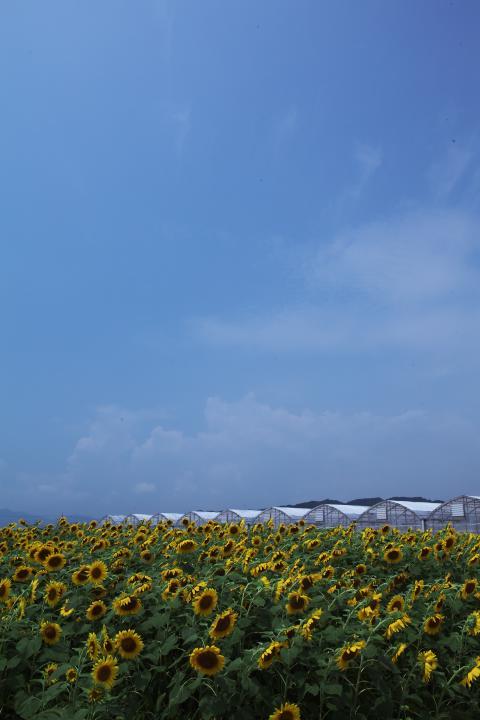 2014「花の海」ひまわり04