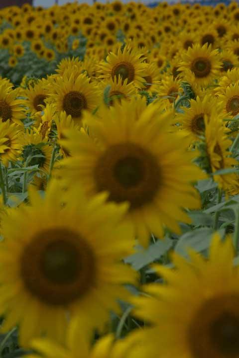 2014「花の海」ひまわり03
