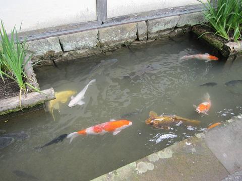 写真⑩ 掘割の鯉