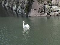 お濠の白鳥