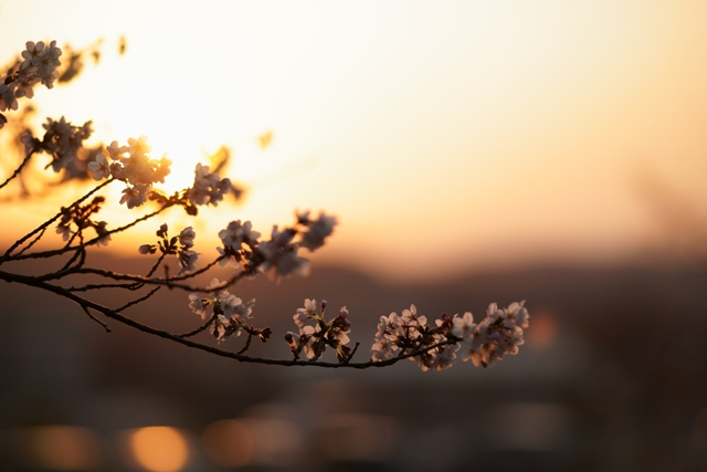 桜の園03
