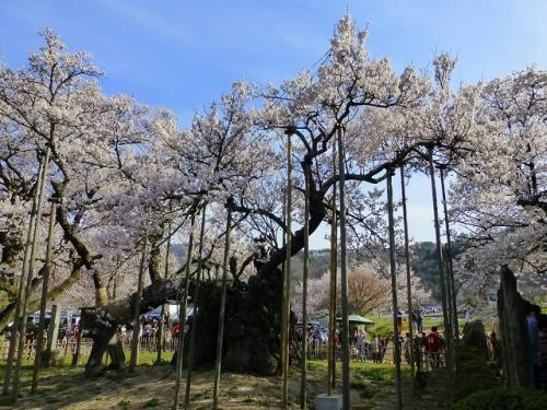 神代桜140412