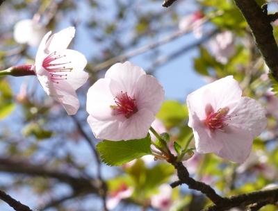140521駒ヶ岳山桜