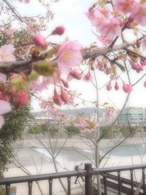 みなさん足を止めてカメラを向けるこの桜。三条大橋の西側。