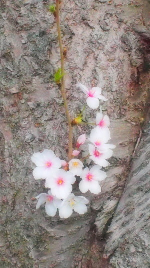 桜の木の幹に咲く花。こんな桜も愛らしい。
