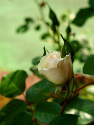 香りのよい白いバラが好きです。