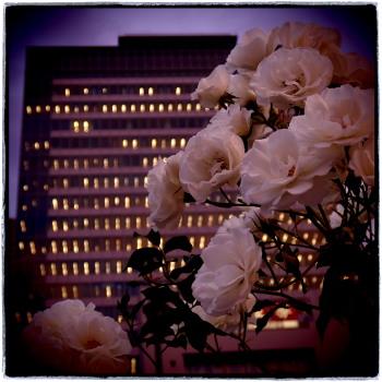 都会のバラ!