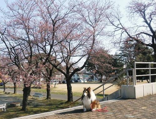 600 20140407 桜・Fromふれあい北toLL Erie01