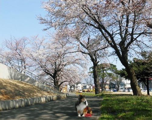 01 600 20140409 桜並木8分咲きErie