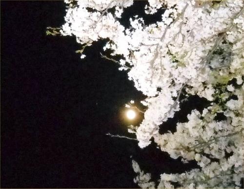 02 600 20140414 桜並木月夜04Venus