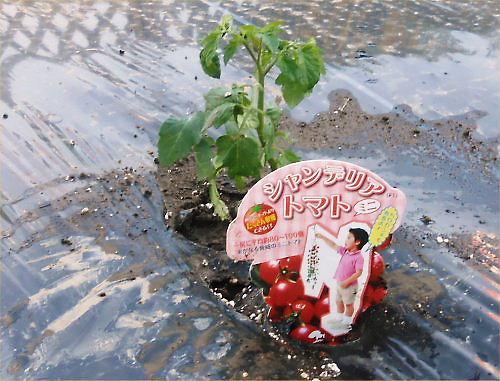 06 500 20140511 LL庭Planting05chandelierTomato