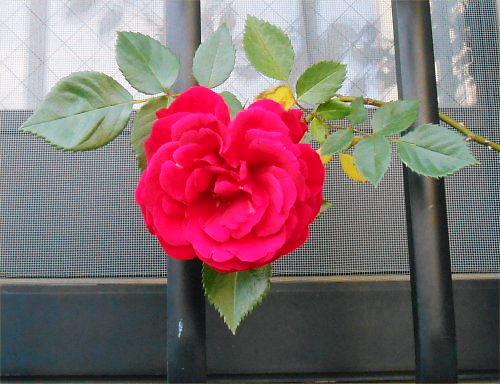 500 20140518 LL庭 06 赤い薔薇Ingrid Bergman?