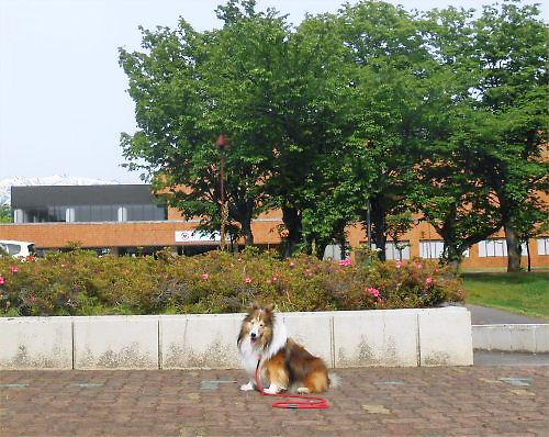 02 500 20140520 文化ホール東ツツジErie
