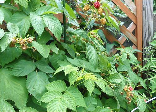 03 500 20140608 raspberryの赤い実が