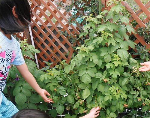 03 500 20140611 PA raspberry in Garden02
