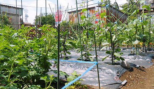 01 500 20140613 LL庭:じゃが芋、茄子、胡瓜、トマト
