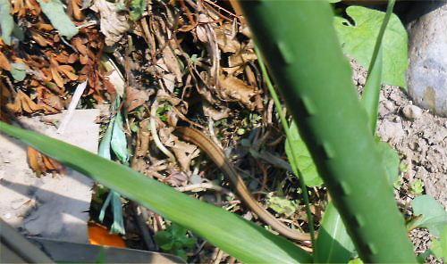 01 500 20140616 縞蛇into堆肥場