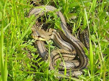 01 縞蛇