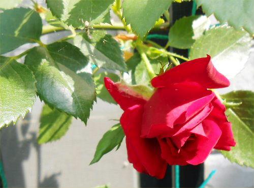 02 500 20140617 赤いバラと蜘蛛