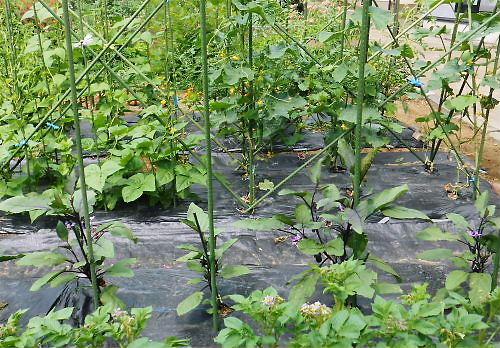 01 500 20140618 芋茄子胡瓜トマトの花盛り