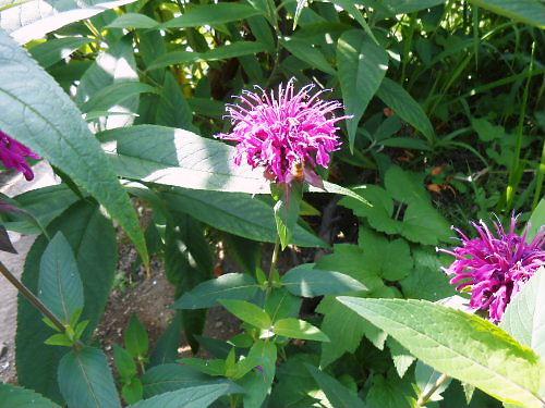 07 500 20140625 bergamot-flowers