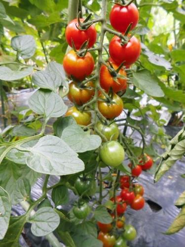 500 20140715 LL-garden04 ミニトマトripen