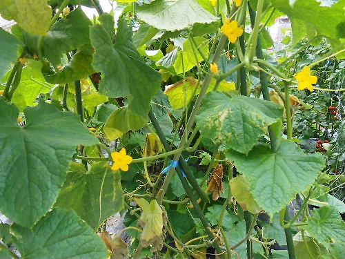 500 20140715 LL-garden06 cucumber_flowers