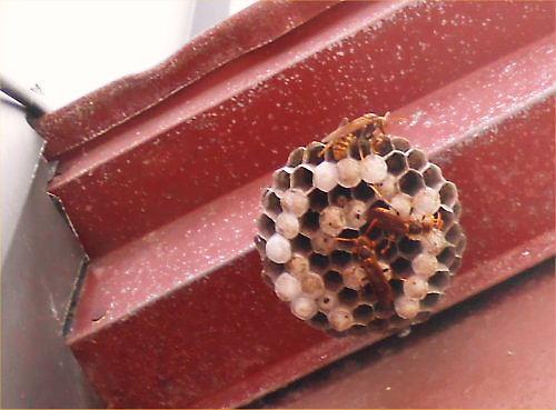 08 500 20140729 足長蜂の巣