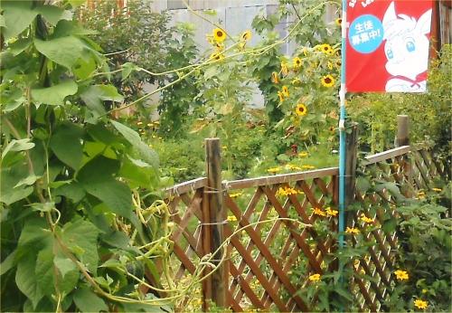 01 20140806 向日葵と、もどきin Garden