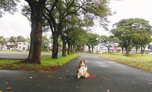 04 500 20140911 桜並木:落ち葉 Erie